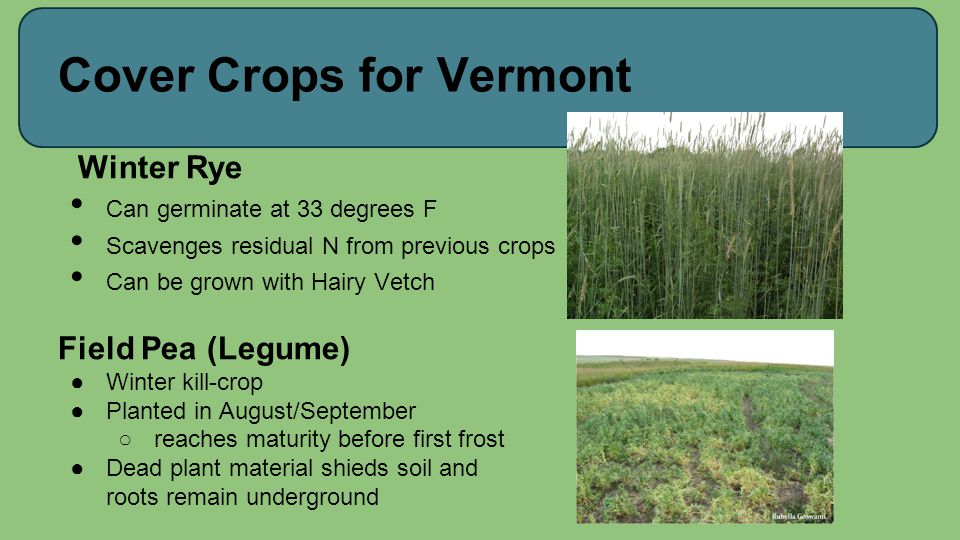 Cover Crops for Vermont Winter Rye Can germinate at 33 degrees F Scavenges residual N from previous crops Can be grown with Hairy Vetch Field Pea (Leg