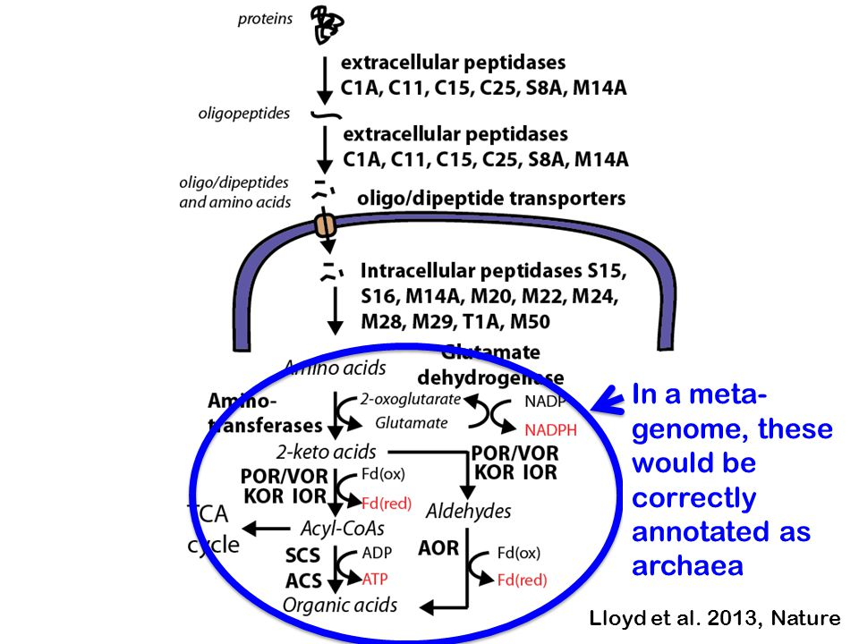 In a meta- genome, these would be correctly annotated as archaea Lloyd et al. 2013, Nature