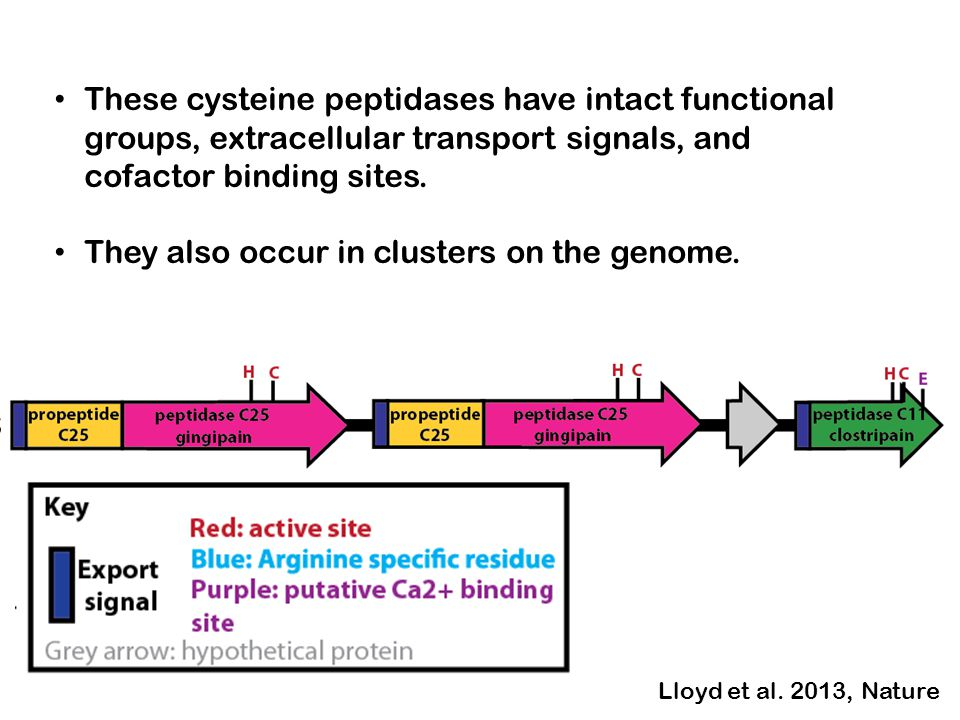 These cysteine peptidases have intact functional groups, extracellular transport signals, and cofactor binding sites. They also occur in clusters on t