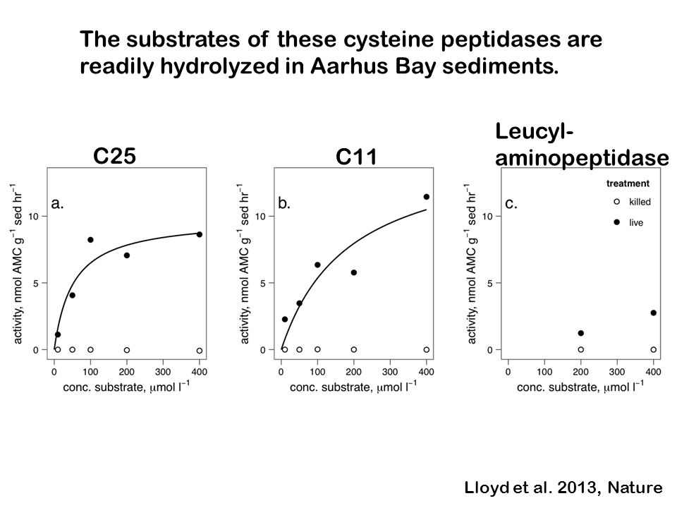 The substrates of these cysteine peptidases are readily hydrolyzed in Aarhus Bay sediments.