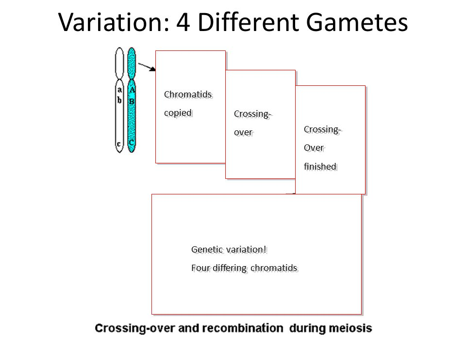 Causes of Genetic Variation Genetic variation increases chances some organisms survive in changing environments Gene Pool: All alleles within a population Two main causes of genetic variation: 1) Mutations: Random genetic changes may affect phenotypes 2) Recombination: During meiosis, genes recombine in varying patterns