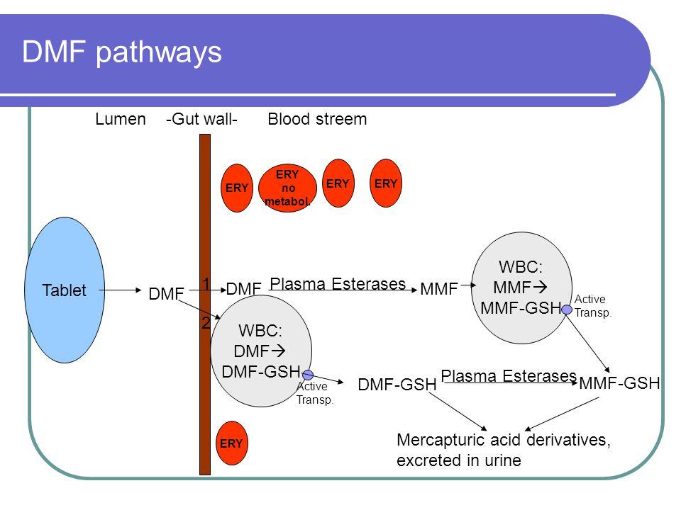 DMF pathways Lumen -Gut wall- Blood streem DMF Tablet ERY ERY no metabol. ERY Plasma Esterases DMFMMF WBC: DMF  DMF-GSH Active Transp. DMF-GSH Plasma