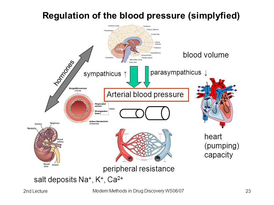 2nd Lecture Modern Methods in Drug Discovery WS06/07 23 Regulation of the blood pressure (simplyfied) peripheral resistance Arterial blood pressure sympathicus ↑ parasympathicus ↓ blood volume heart (pumping) capacity salt deposits Na +, K +, Ca 2+ hormones