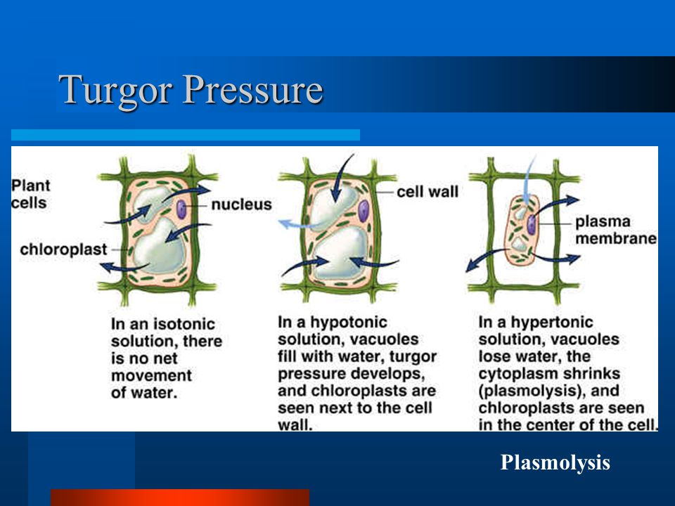 Turgor Pressure Plasmolysis