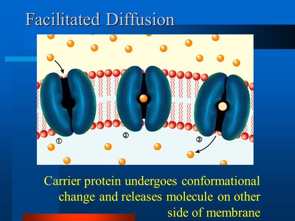 Facilitated Diffusion Carrier protein undergoes conformational change and releases molecule on other side of membrane