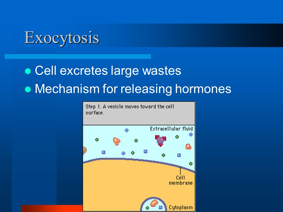 Exocytosis Cell excretes large wastes Mechanism for releasing hormones