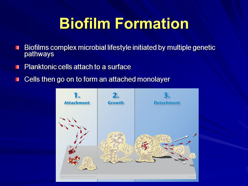 Biofilm Formation Micro-colonies form Prolific EPS matrix with micro-organisms embedded in matrix forms Planktonic Shedding from the surface of biofilms