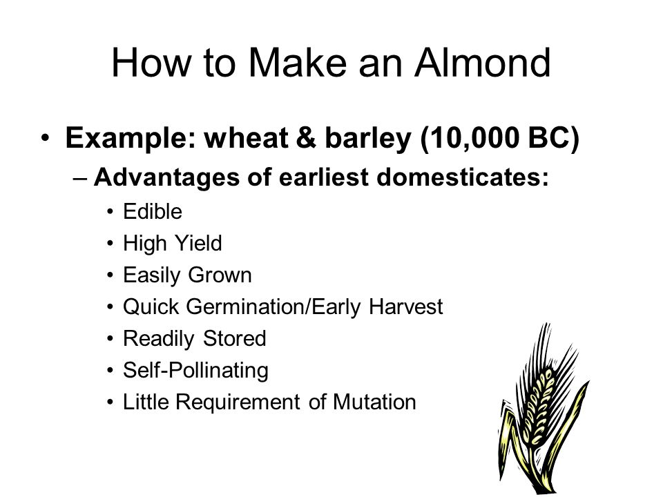 How to Make an Almond Example: wheat & barley (10,000 BC) –Advantages of earliest domesticates: Edible High Yield Easily Grown Quick Germination/Early Harvest Readily Stored Self-Pollinating Little Requirement of Mutation