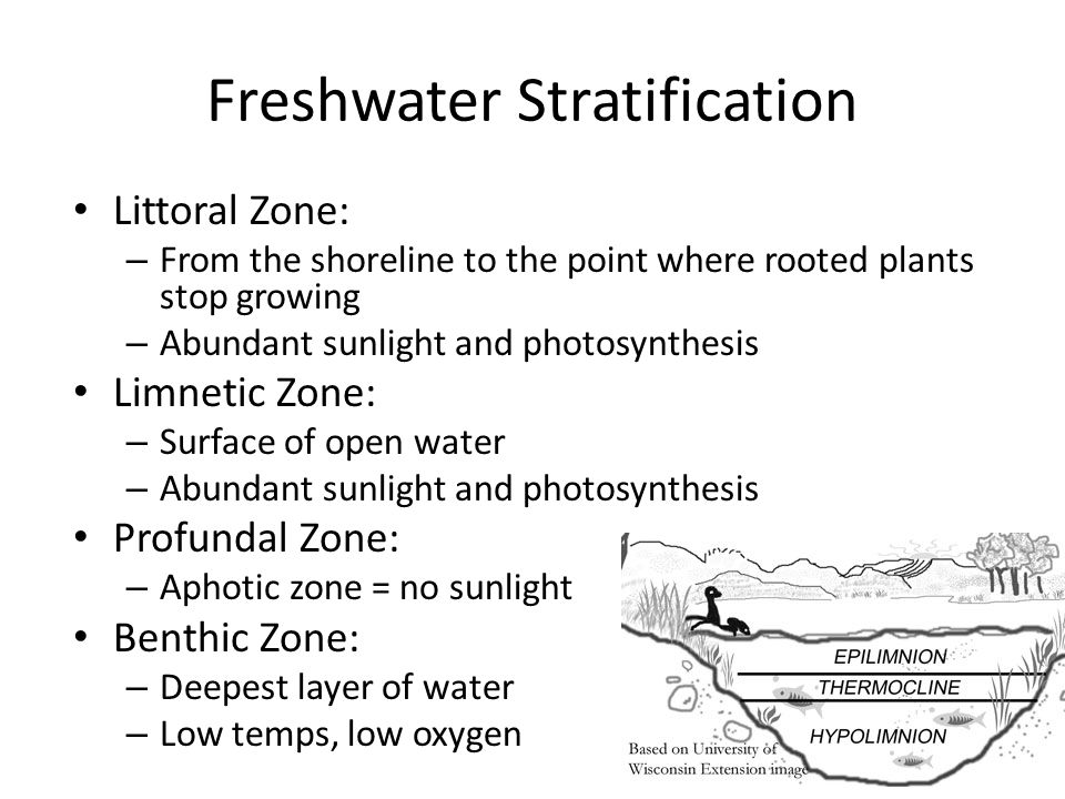 Freshwater Stratification Littoral Zone: – From the shoreline to the point where rooted plants stop growing – Abundant sunlight and photosynthesis Limnetic Zone: – Surface of open water – Abundant sunlight and photosynthesis Profundal Zone: – Aphotic zone = no sunlight Benthic Zone: – Deepest layer of water – Low temps, low oxygen