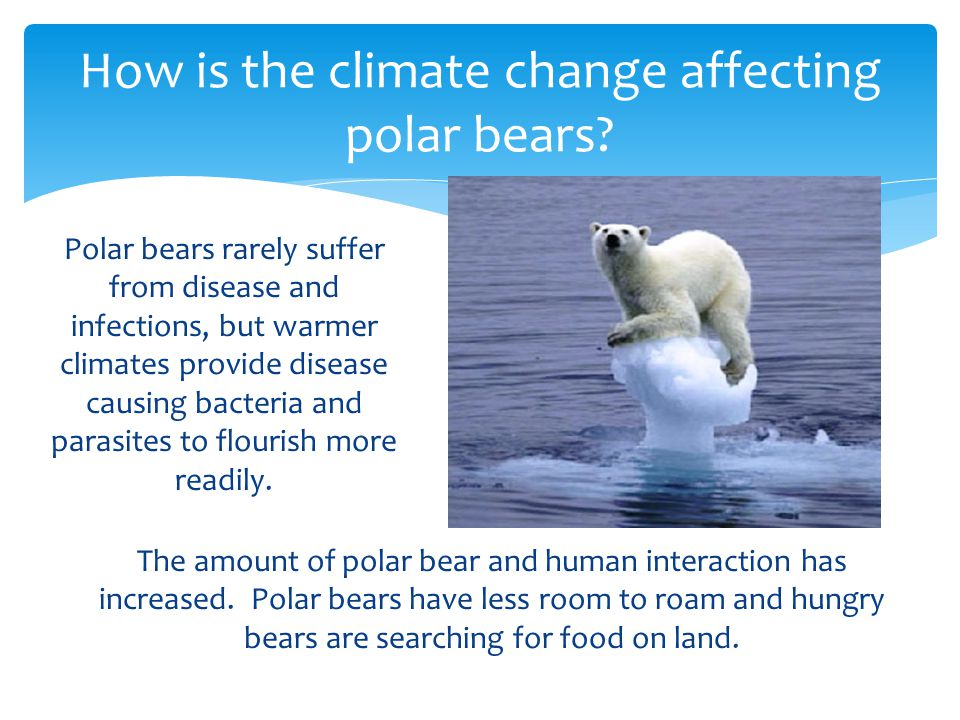 Polar bears rarely suffer from disease and infections, but warmer climates provide disease causing bacteria and parasites to flourish more readily.