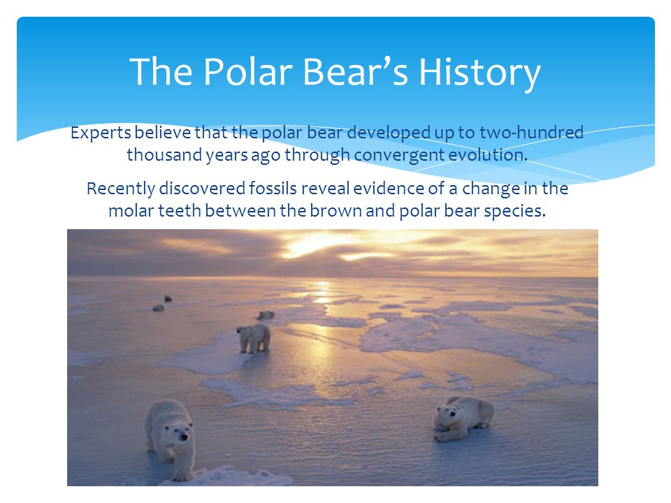 The Polar Bear's History Experts believe that the polar bear developed up to two-hundred thousand years ago through convergent evolution.