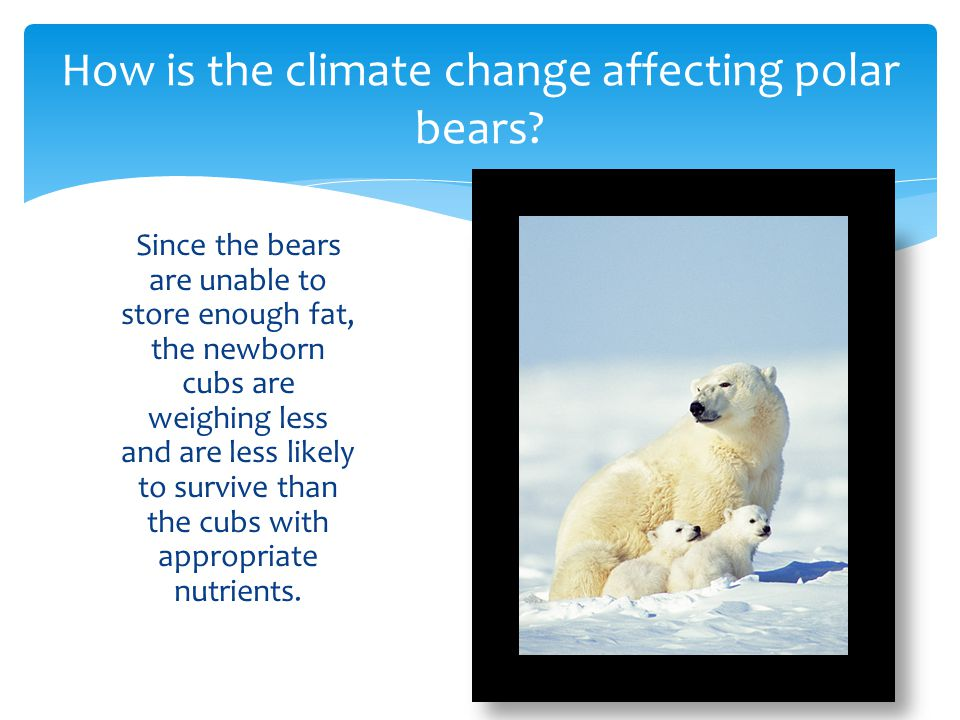 When the ice melts, polar bears swim to find new ice sheets, since the ice is becoming rare, the polar bears drown before they ever reach the ice.
