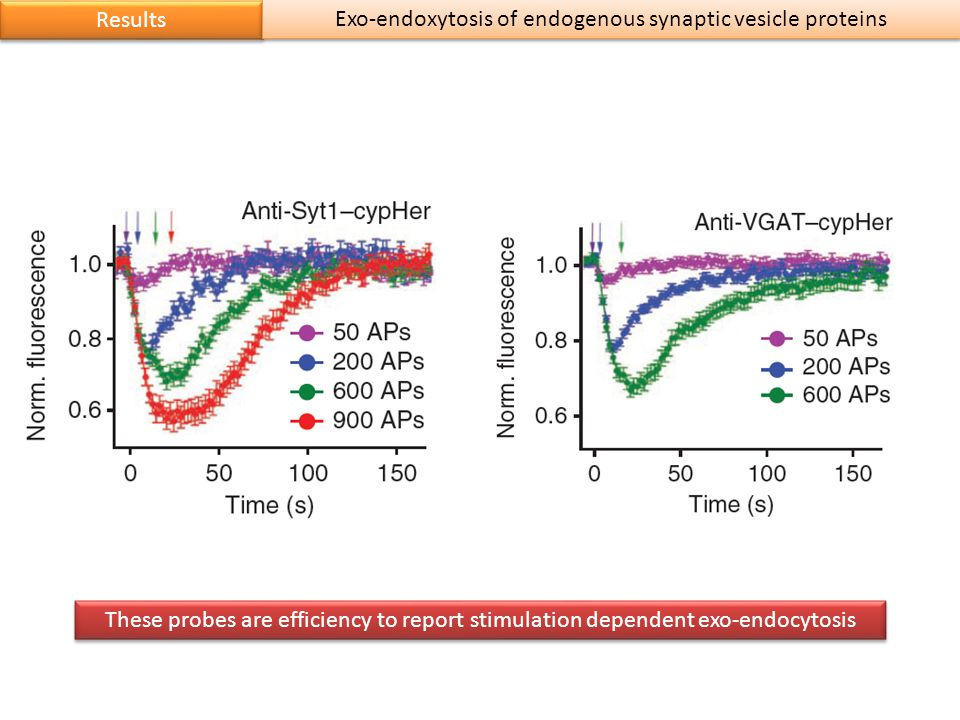 Results These probes are efficiency to report stimulation dependent exo-endocytosis Exo-endoxytosis of endogenous synaptic vesicle proteins