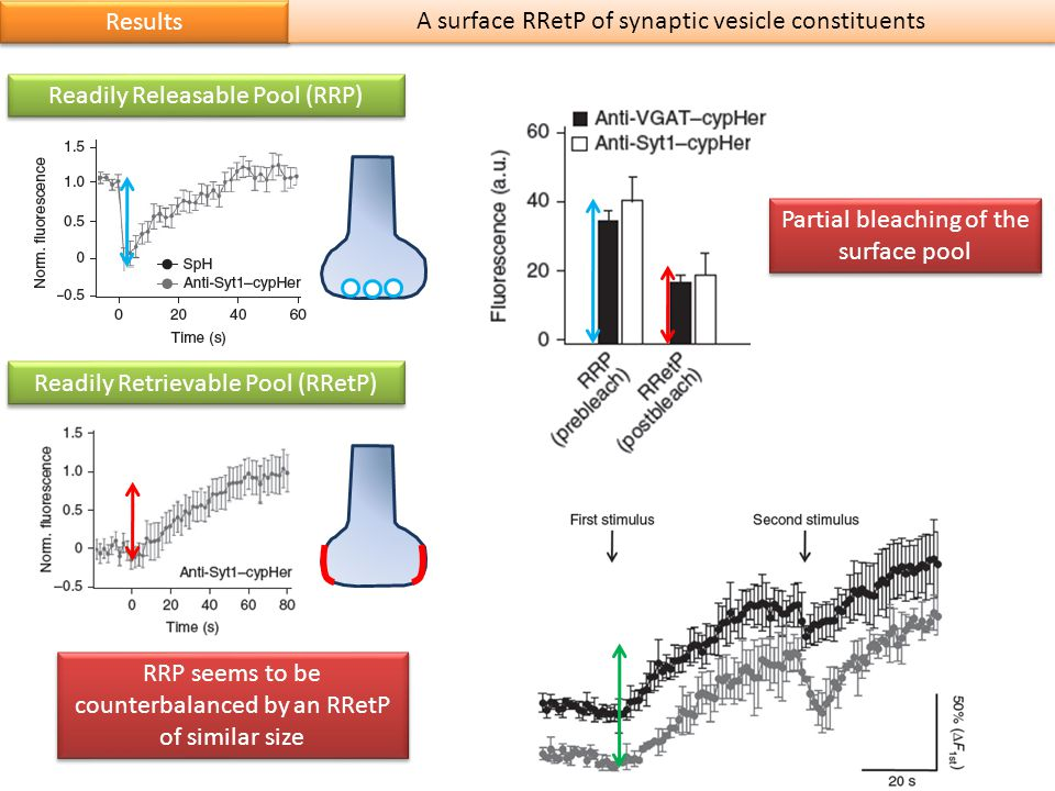 Results A surface RRetP of synaptic vesicle constituents Readily Retrievable Pool (RRetP) RRP seems to be counterbalanced by an RRetP of similar size Readily Releasable Pool (RRP) Partial bleaching of the surface pool