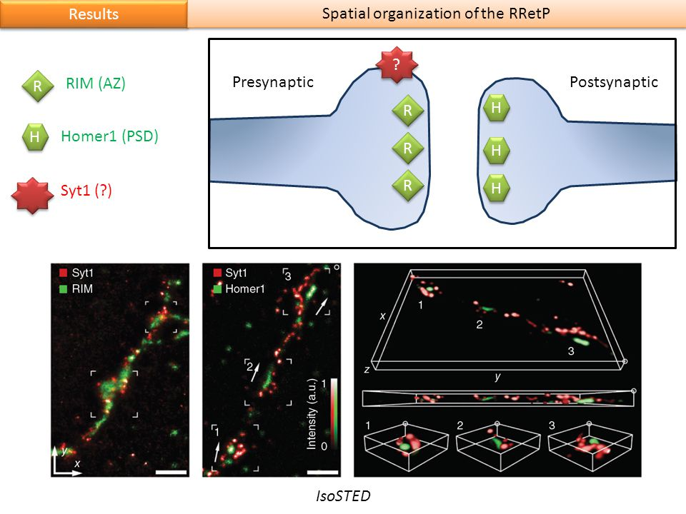 Results Spatial organization of the RRetP H H H H H H R R R R R R PresynapticPostsynaptic R R H H RIM (AZ) Homer1 (PSD) Syt1 (?) ? ? IsoSTED