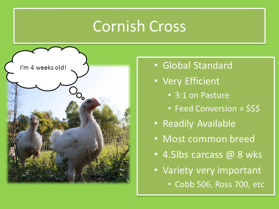Cornish Cross Global Standard Very Efficient 3:1 on Pasture Feed Conversion = $$$ Readily Available Most common breed 4.5lbs carcass @ 8 wks Variety very important Cobb 506, Ross 700, etc Global Standard Very Efficient 3:1 on Pasture Feed Conversion = $$$ Readily Available Most common breed 4.5lbs carcass @ 8 wks Variety very important Cobb 506, Ross 700, etc I'm 4 weeks old!