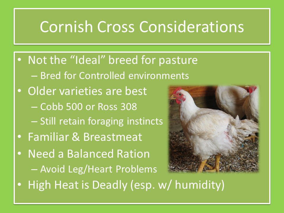 """Cornish Cross Considerations Not the """"Ideal"""" breed for pasture – Bred for Controlled environments Older varieties are best – Cobb 500 or Ross 308 – St"""