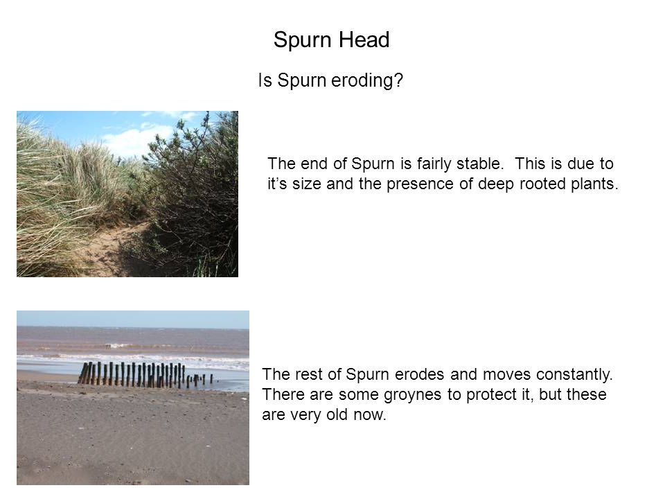 Spurn Head Is Spurn eroding? The end of Spurn is fairly stable. This is due to it's size and the presence of deep rooted plants. The rest of Spurn ero