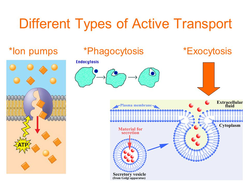 Different Types of Active Transport *Ion pumps *Phagocytosis*Exocytosis