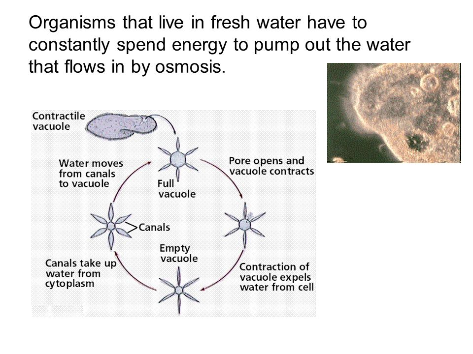Organisms that live in fresh water have to constantly spend energy to pump out the water that flows in by osmosis.