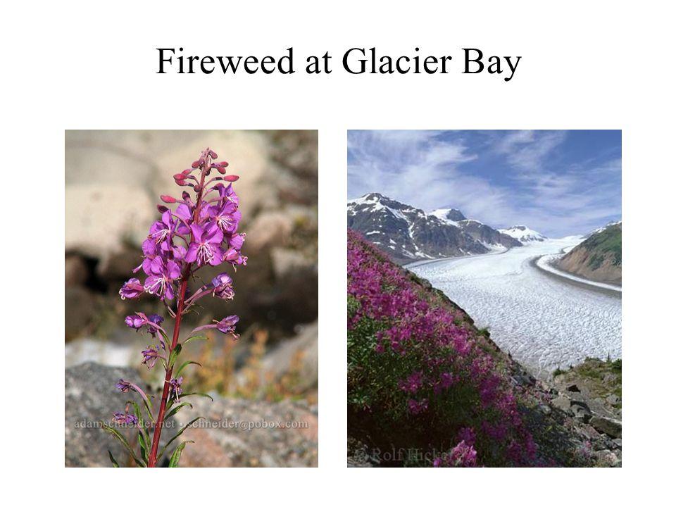 Fireweed at Glacier Bay