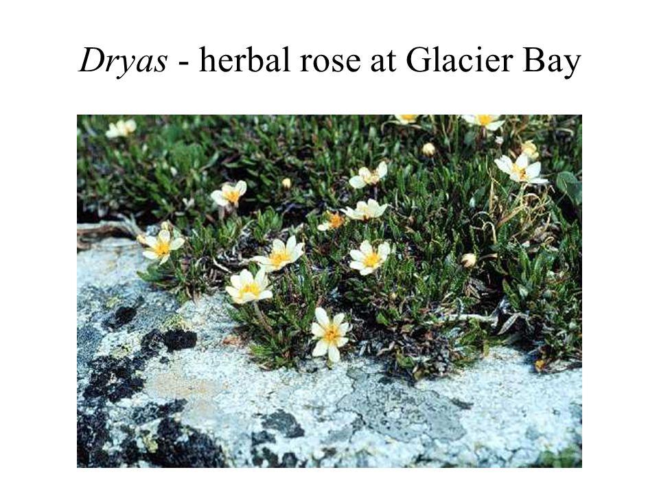 Dryas - herbal rose at Glacier Bay
