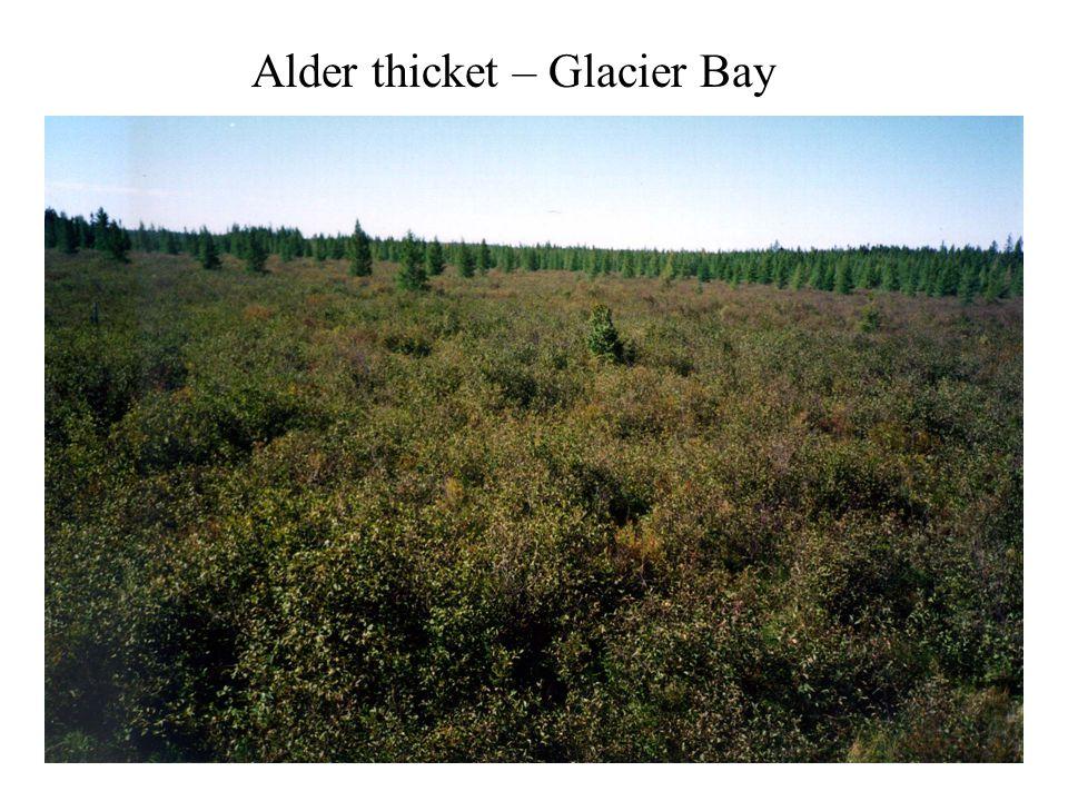 Alder thicket – Glacier Bay