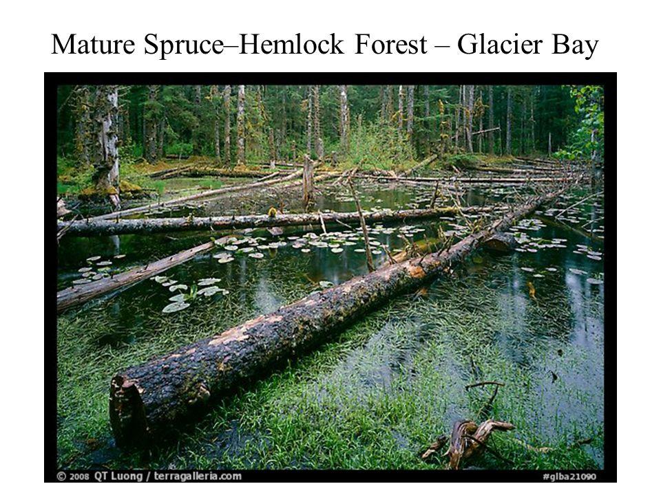 Mature Spruce–Hemlock Forest – Glacier Bay