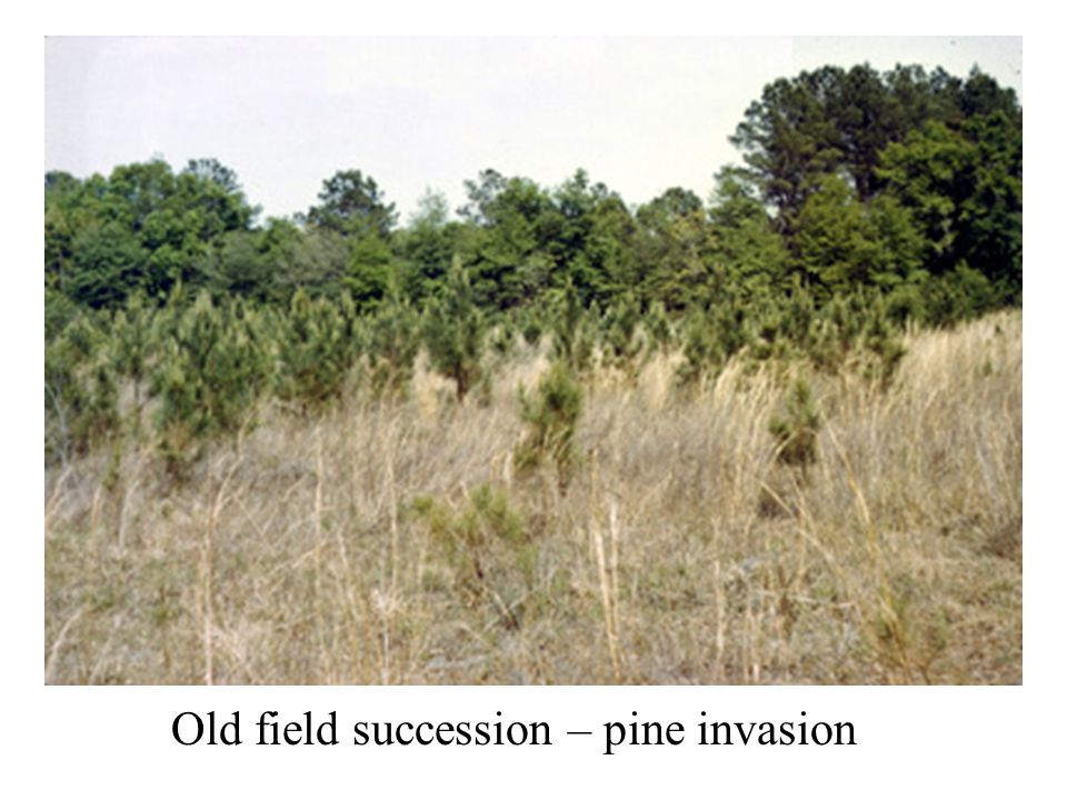 Old field succession – pine invasion