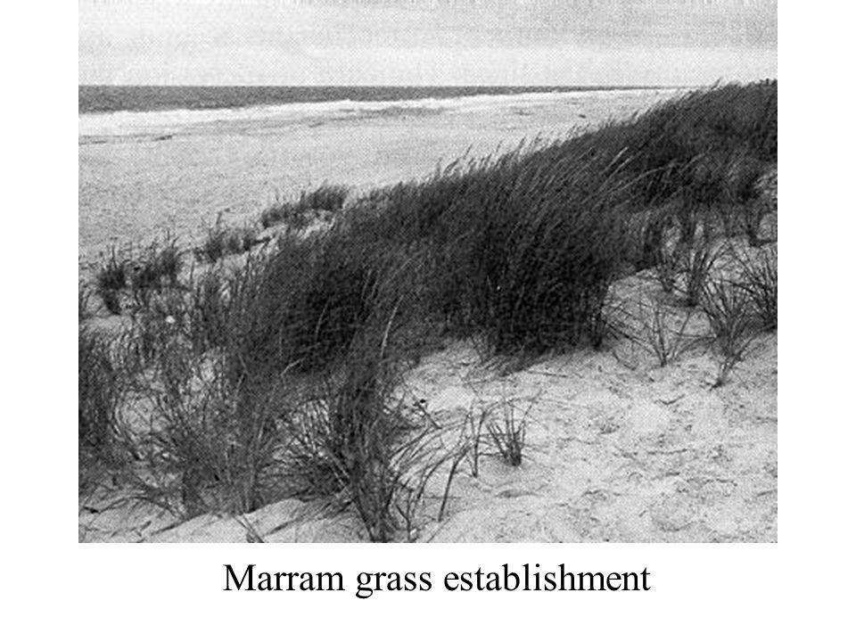 Marram grass establishment