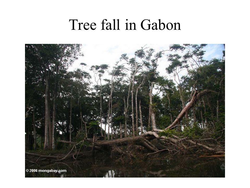 Tree fall in Gabon