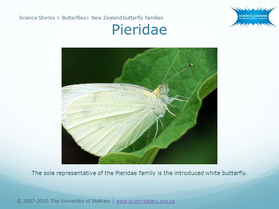 © 2007-2010 The University of Waikato | www.sciencelearn.org.nzwww.sciencelearn.org.nz Science Stories > Butterflies> New Zealand butterfly families The sole representative of the Pieridae family is the introduced white butterfly.