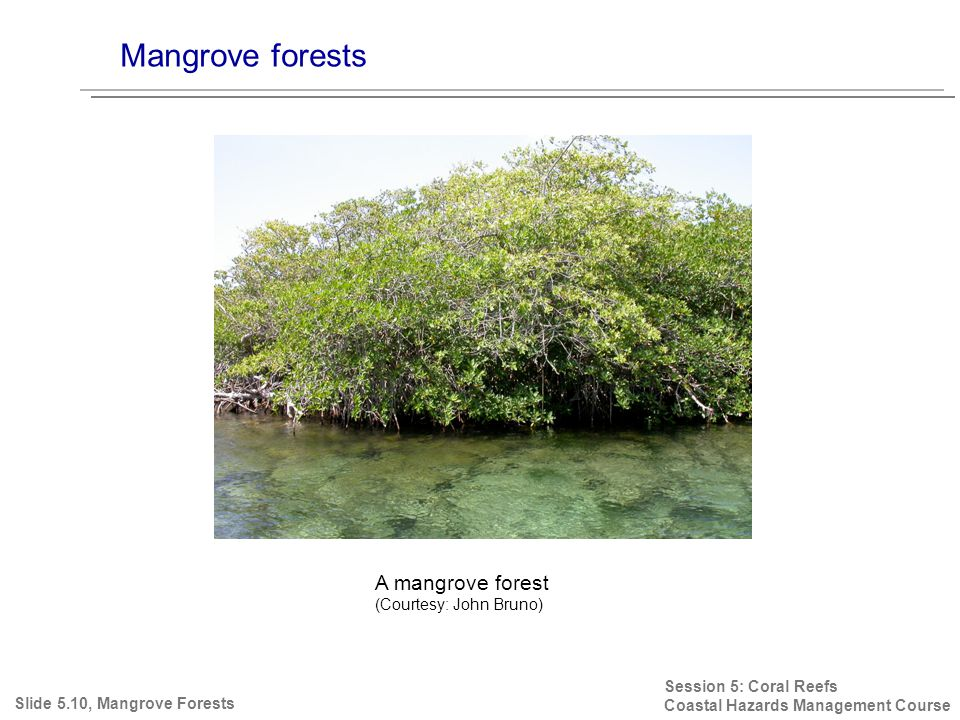 Mangrove forests Session 5: Coral Reefs Coastal Hazards Management Course Slide 5.10, Mangrove Forests A mangrove forest (Courtesy: John Bruno)