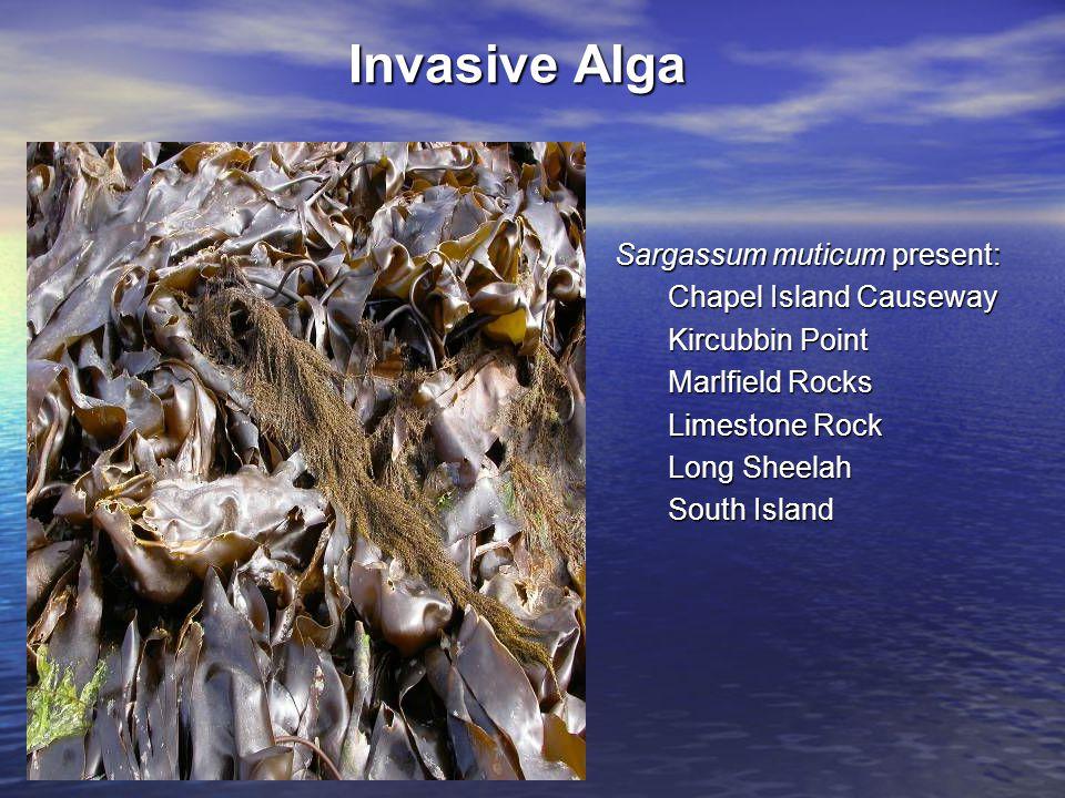 Sargassum muticum present: Chapel Island Causeway Kircubbin Point Marlfield Rocks Limestone Rock Long Sheelah South Island Invasive Alga