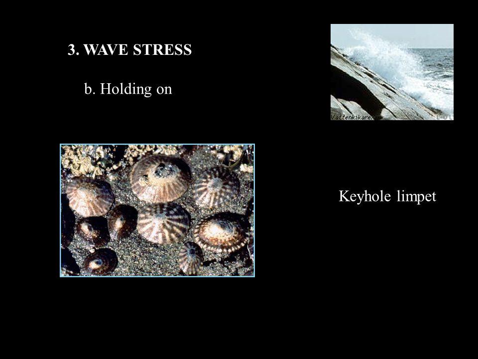 3. WAVE STRESS b. Holding on Keyhole limpet