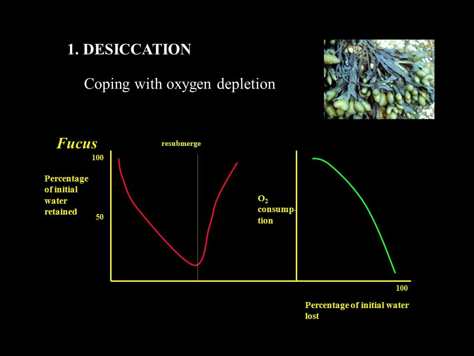 1. DESICCATION Coping with oxygen depletion Fucus resubmerge Percentage of initial water retained Percentage of initial water lost O 2 consump- tion 1