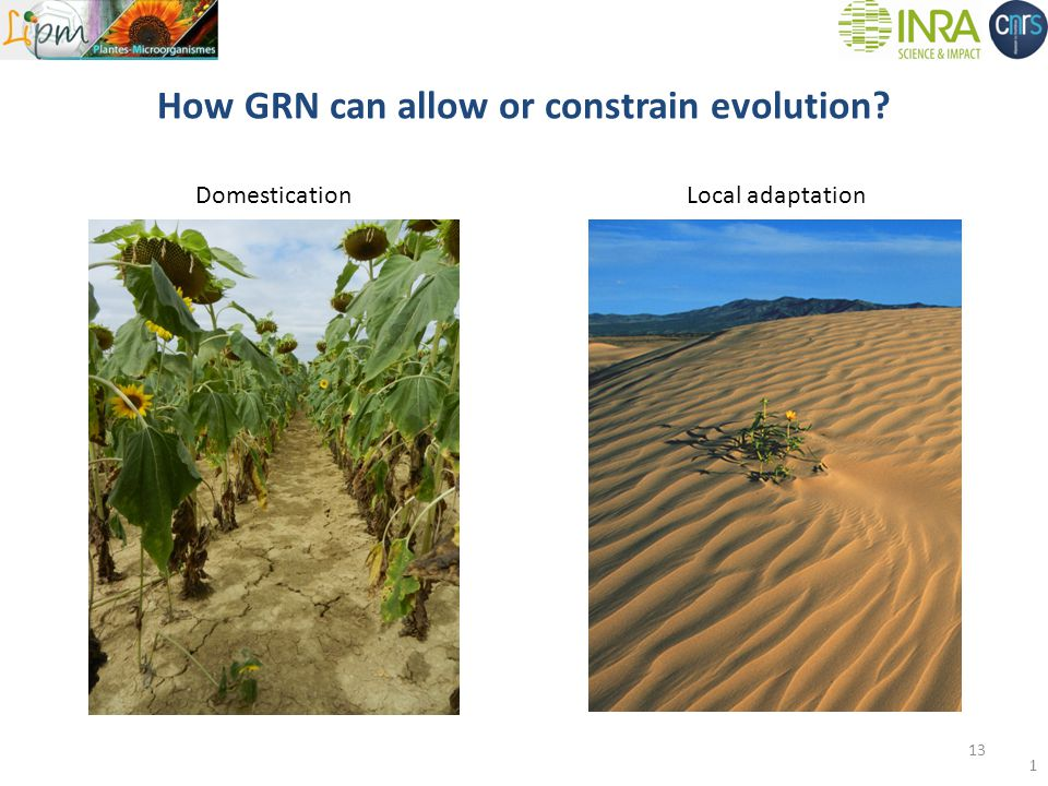 How GRN can allow or constrain evolution DomesticationLocal adaptation 13