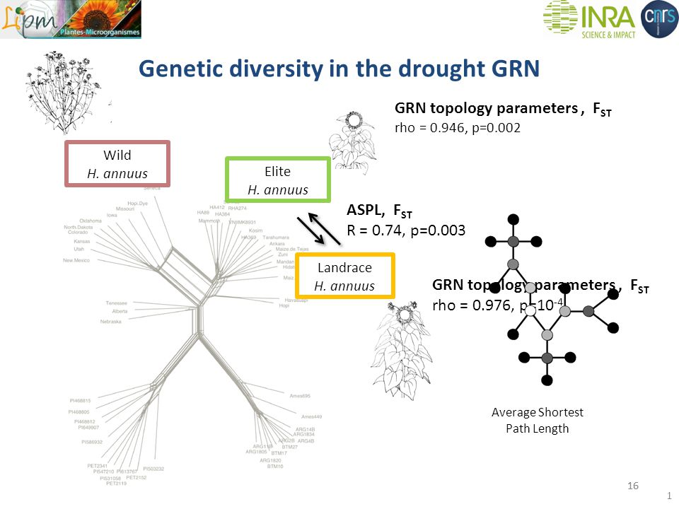 Genetic diversity in the drought GRN 16 GRN topology parameters, F ST rho = 0.976, p=10 -4 Wild H.