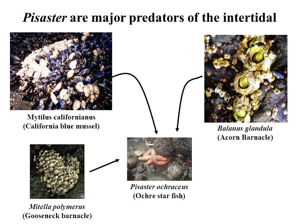 Pisaster are major predators of the intertidal Pisaster ochraceus (Ochre star fish) Balanus glandula (Acorn Barnacle) Mytilus californianus (California blue mussel) Mitella polymerus (Gooseneck barnacle)
