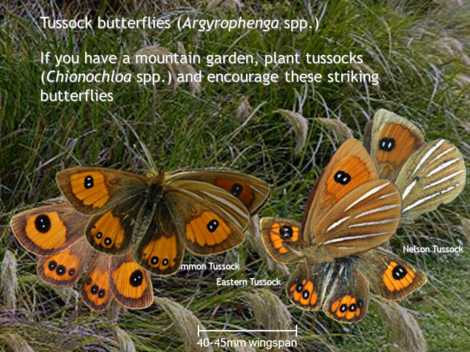 Flowers that fly www.monarch.org.nz Tussock butterflies (Argyrophenga spp.) If you have a mountain garden, plant tussocks (Chionochloa spp.) and encourage these striking butterflies 40-45mm wingspan Common Tussock Nelson Tussock Eastern Tussock