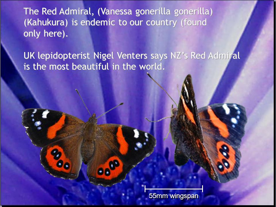 Flowers that fly www.monarch.org.nz 55mm wingspan The Red Admiral, (Vanessa gonerilla gonerilla) (Kahukura) is endemic to our country (found only here).