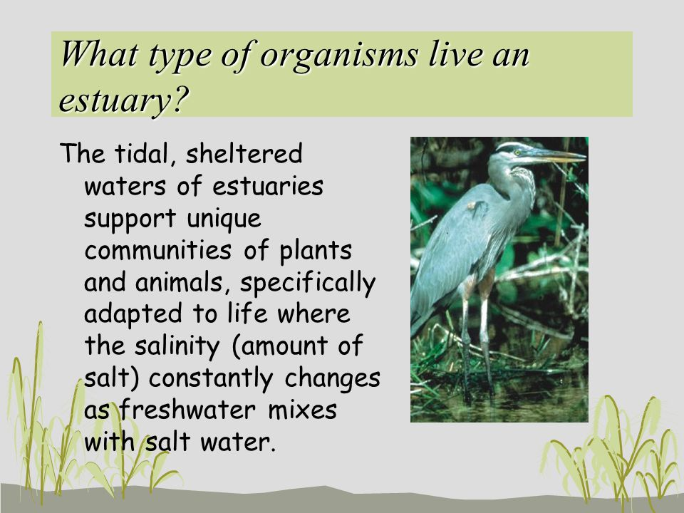 What type of organisms live an estuary? The tidal, sheltered waters of estuaries support unique communities of plants and animals, specifically adapte