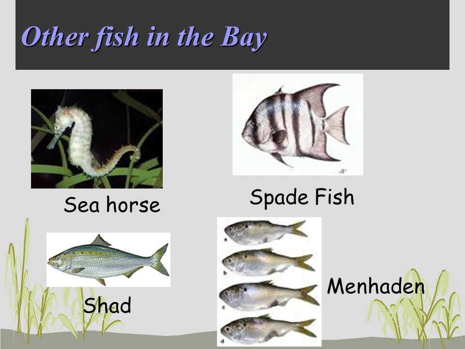 Other fish in the Bay Spade Fish Shad Sea horse Menhaden