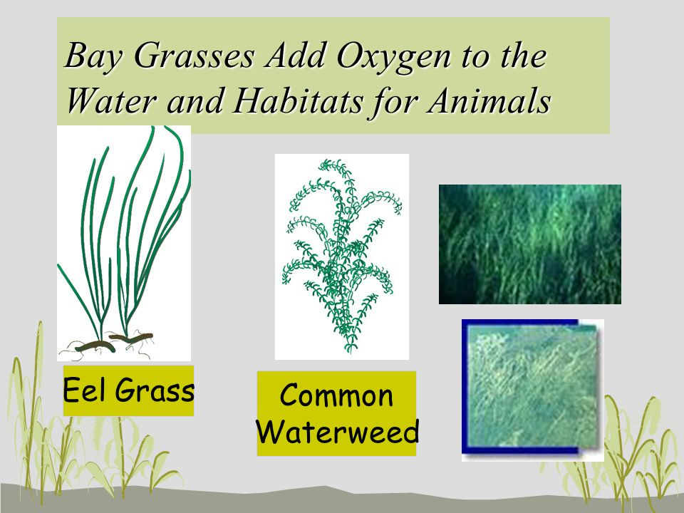 Bay Grasses Add Oxygen to the Water and Habitats for Animals Eel Grass Common Waterweed