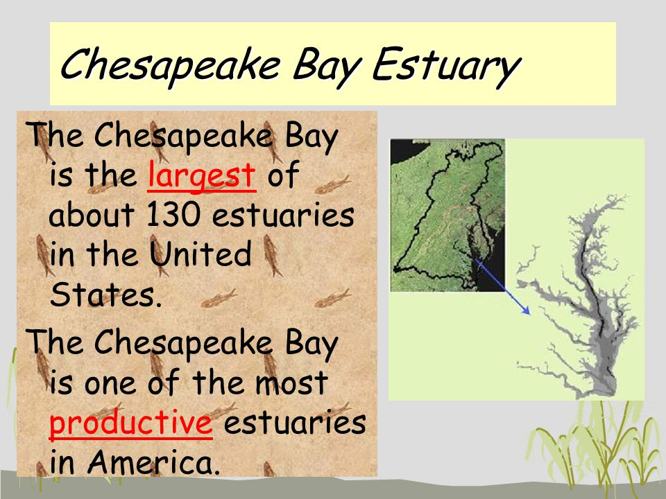 Chesapeake Bay Estuary The Chesapeake Bay is the largest of about 130 estuaries in the United States.