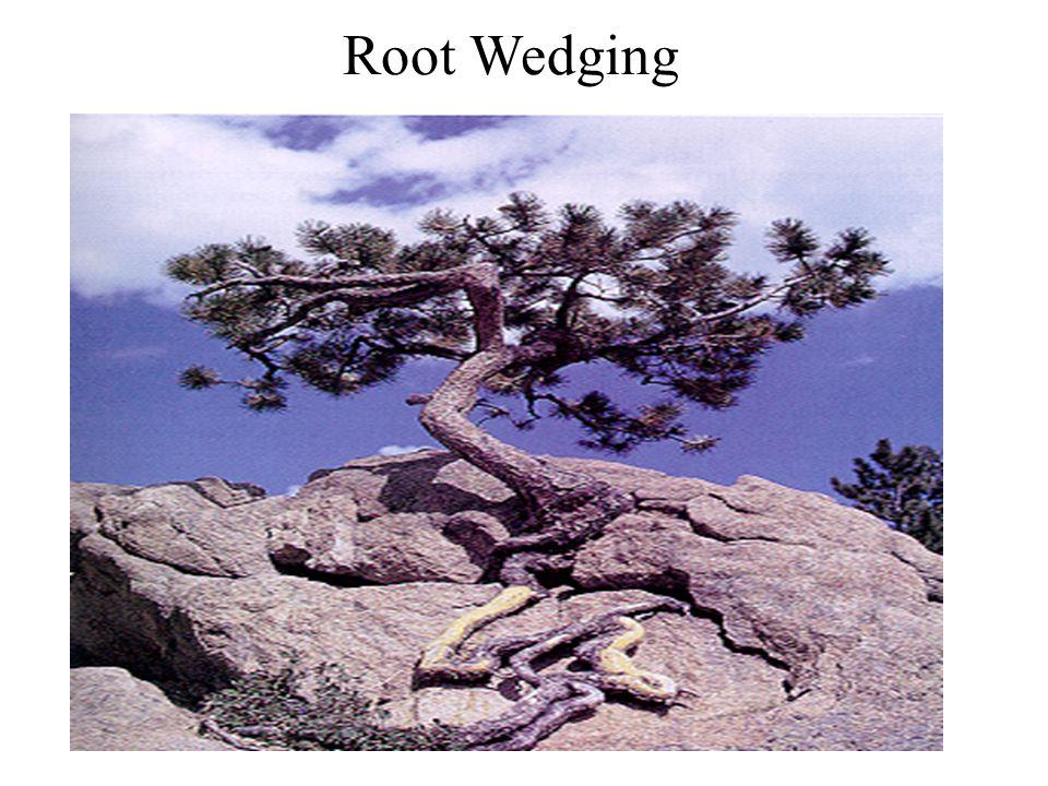 Root Wedging