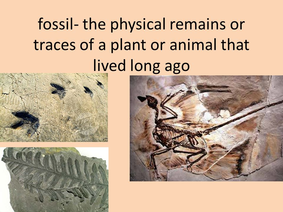 fossil- the physical remains or traces of a plant or animal that lived long ago