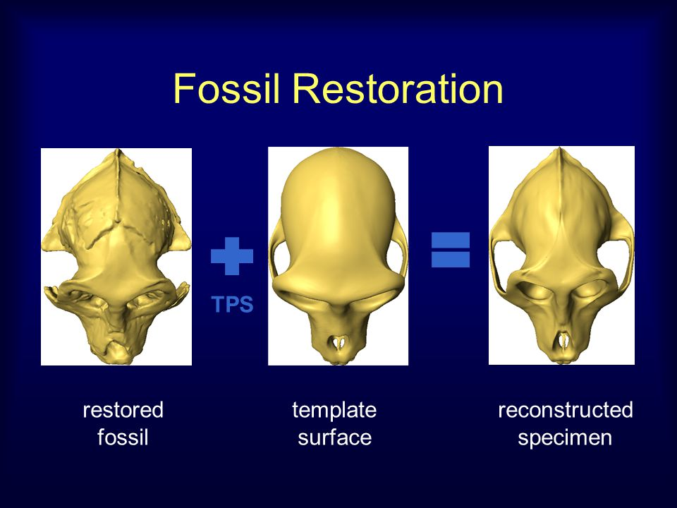 Fossil Restoration restored fossil template surface reconstructed specimen TPS
