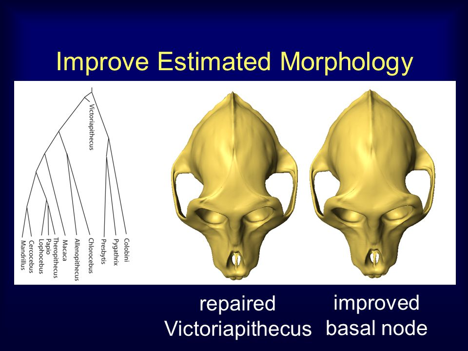 Improve Estimated Morphology improved basal node repaired Victoriapithecus