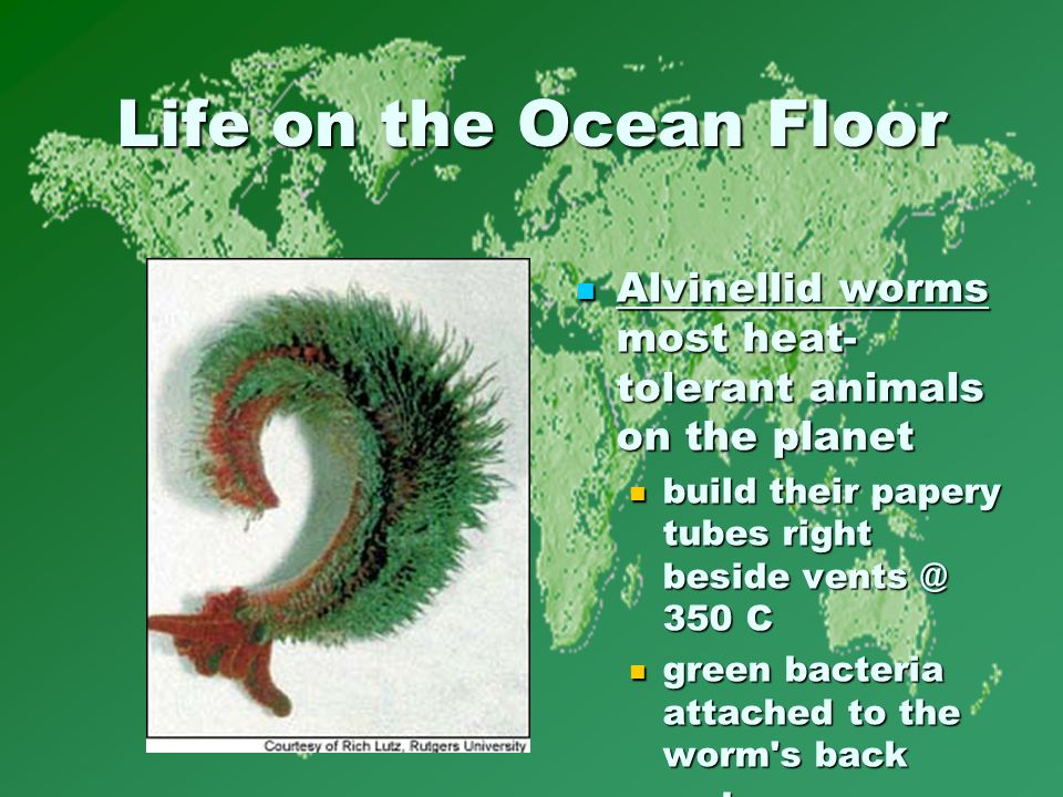 Life on the Ocean Floor Alvinellid worms most heat- tolerant animals on the planet Alvinellid worms most heat- tolerant animals on the planet build their papery tubes right beside vents @ 350 C green bacteria attached to the worm s back.
